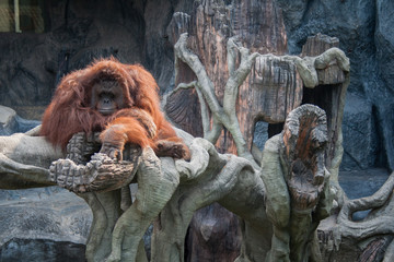Orangutan lying on the stone