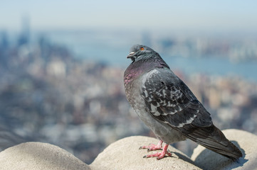 Dove with a view on top of Empire State Building
