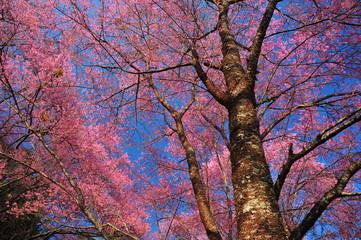 Pink Sakura Flowers in Springtime