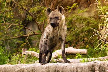 The spoted hyena. Crocuta crocuta