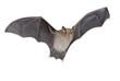 Horseshoe bat isolated - 76794046