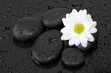 zen basalt stones and daisy isolated on black