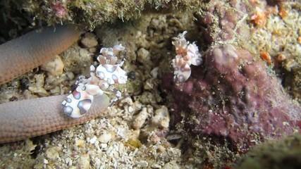 Harlekin shrimps