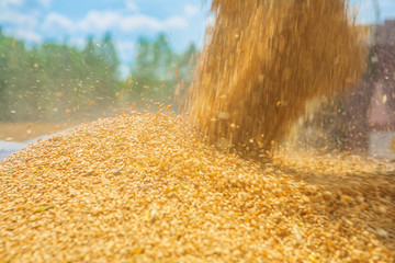 pouring corns of wheat close up instagram stile