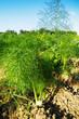 canvas print picture - Fenchelpflanzen auf dem Acker