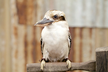 Australian laughing kookaburra on branch