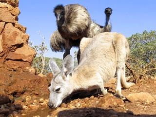 emus und känguruh