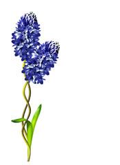 hyacinth flower isolated on white background