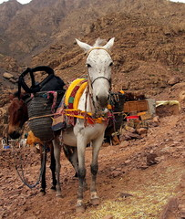 A pair of moroccan donkeys resting with their carriage on the ad