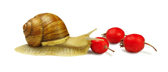 Snail and wild rose berries