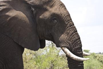 wild african elephant, Kruger, South Africa