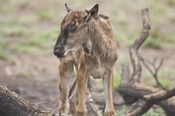 baby wildebeest standing in the bush, Kruger