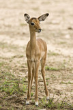 portrait of a baby impala, South Africa