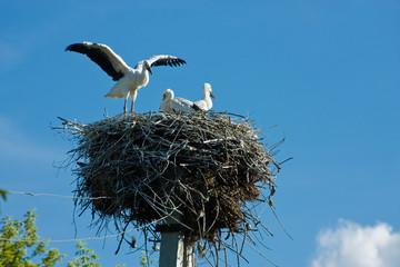 Nest of three storks