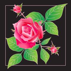 Beautiful rose isolated on black.