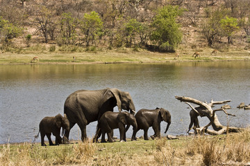 wild african elephants, Kruger, South Africa
