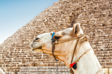 Camel and Pyramid