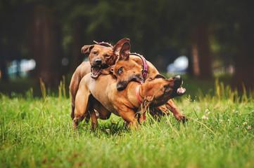 Rhodesian Ridgeback dogs playing in summer