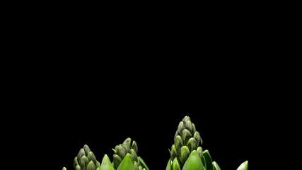 Purple hyacinth flower Time-lapse
