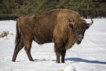 european bison on snow