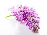 violet lilac