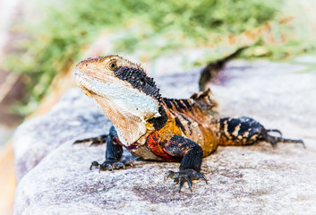 Eastern water dragon lizard, Australia