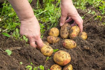 Female hands harvesting fresh potatoes from soil
