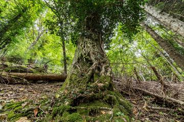 un albero nella foresta Vallombrosana