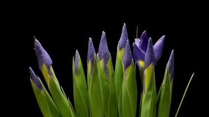 Purple Iris Flower Time-lapse