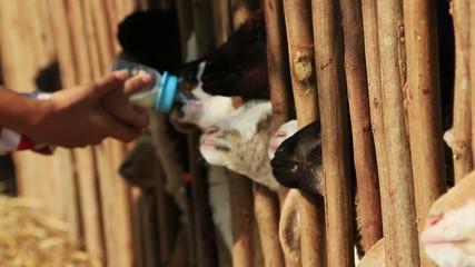 Sheep feeding in farm.