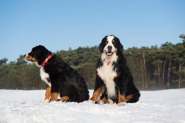 Berner Sennen hunden in snow landscape
