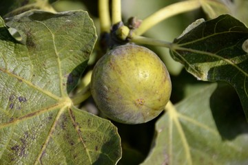 Ripe figs and green leaves