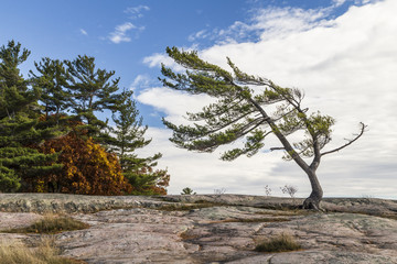Northern Canadian Pine