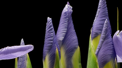 Purple Iris Flower Time-lapse