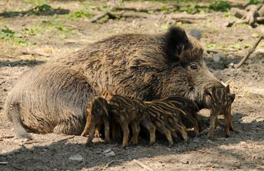 Wildschwein Nachwuchs