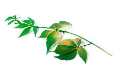 Branch of grapes leaves (Parthenocissus quinquefolia foliage)