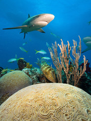 Shark, grouper and big hard coral