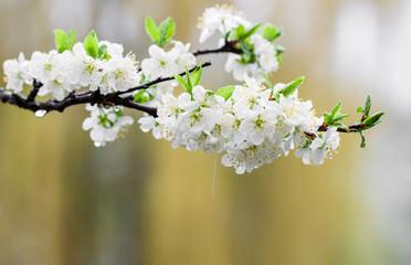 Flowers fruit trees.