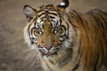 Tiger, portrait of a Sumatran Tiger