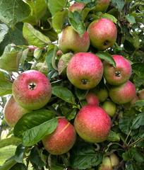 Mehrere grün-rote Äpfel am Baum