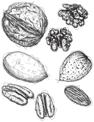 Walnut, pecan, and almond sketches