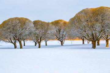 Frosty brittle willows in a snowy park