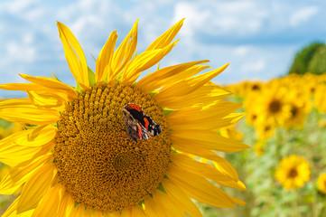 Schmetterling auf Sonnenblume, Admiral, Vanessa atalanta