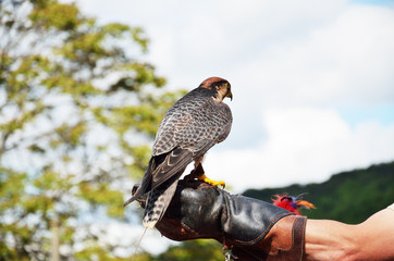 Falcon on the human hand