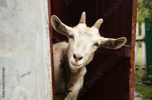 Papiers peints Nature Goat