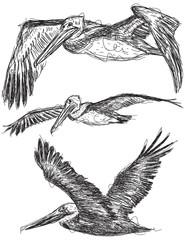 Pelican sketches