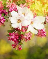 Magnolia flowers in April.