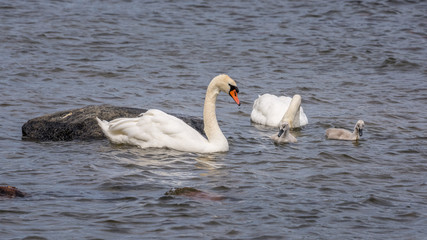 Swans and chicks