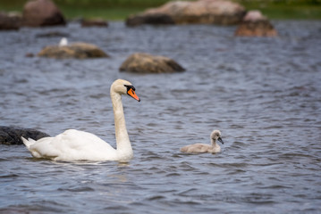Swans chick