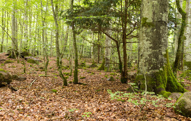 Untouched forest with beech, important habitat for many animals